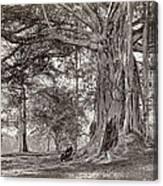 A Gentleman Sitting Beneath A Large Native Tree In British Ceylon Canvas Print