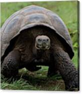 A Giant Tortoise Walks Along The Rim Canvas Print
