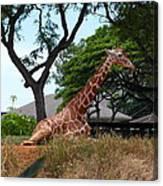A Giraffe Rests In Honolulu Canvas Print