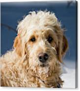 A Goldendoodle Lying In The Snow Bathed Canvas Print