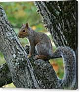 A Gray Squirrel Pose  Canvas Print