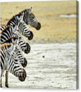 A Grevys Zebra In Ngorongoro Crater Canvas Print