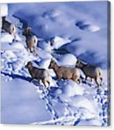 A Group Of Bighorn Sheep Ovis Canvas Print