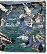 A Group Of Pelicans Canvas Print