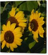 A Group Of Sunflowers Canvas Print