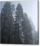 A Grove Of Pine Trees In Yosemite Valley Canvas Print