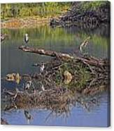 A Hedge Of Heron Canvas Print