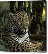 A Jaguar's Gaze Canvas Print