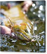 A Large Cutthroat Being Released Canvas Print