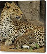 A Leopard Cub With Her Mother Canvas Print