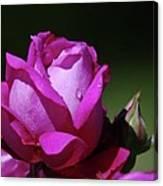 A Light Blue Rose  Canvas Print