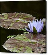 A Little Lavendar Water Lily Canvas Print