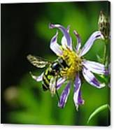 A Little Nectar Seeking Fruit Fly Canvas Print