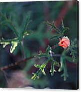 A Little Peach Flower Bud Canvas Print