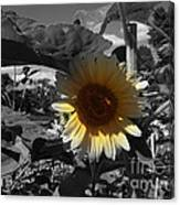 A Lone Sunflower In The Shade Canvas Print