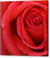 A Lovely Red Rose Canvas Print