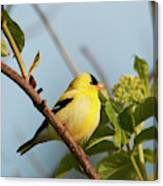 A Male American Goldfinch  Carduelis Canvas Print