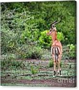A Male Impala In Lake Manyara National Park. Tanzania. Africa. Canvas Print