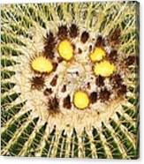 A Mexican Golden Barrel Cactus With Blossoms Canvas Print