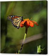 A Monarch Butterfly 1 Canvas Print