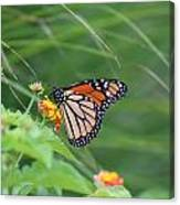 A Monarch Butterfly At Rest Canvas Print