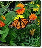 A Monarchs Colors Canvas Print