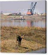 A Moose Walks On The On Reclaimed Land Canvas Print