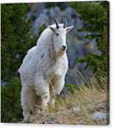 A Mountain Goat Stands On A Grassy Canvas Print