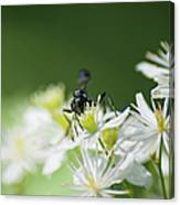 A Nectar Drink For This Black Mud Dauber   Canvas Print