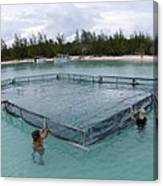 A Net For Turtle Research Canvas Print
