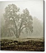 A Old Oak On A Foggy Day  Canvas Print
