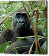 A Once Captive Gorilla Is Now Canvas Print