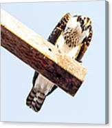 A Osprey Canvas Print