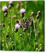 A Painted Lady Canvas Print