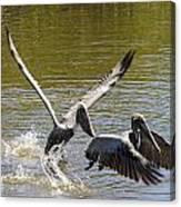 A Pair Of Brown Pelicans Canvas Print