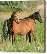 A Pair Of Mustangs Canvas Print