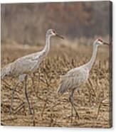A Pair Of Sandhill Cranes 2014-1 Canvas Print
