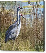 A Pair Of Sandhill Cranes Canvas Print