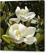 A Pair Of Southern Magnolia Blossoms Canvas Print