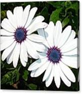 A Pair Of White African Daisies Canvas Print