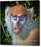 A Patas Baby Monkey Behaving Badly Canvas Print
