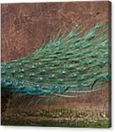 A Peacock Canvas Print