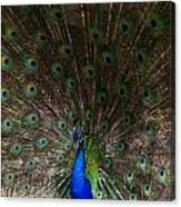A Peacock's Feathers Canvas Print