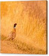 A Pheasant  Canvas Print