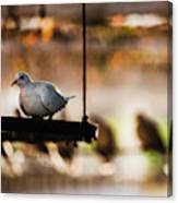 A Pigeon In A Cage Canvas Print