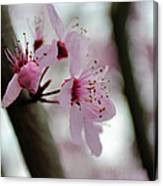 A Pink Flowering Tree Flower Canvas Print
