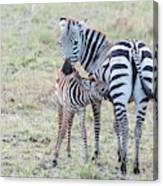 A Plains Zebra, Equus Quagga, Nursing Canvas Print