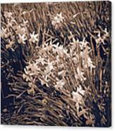 Clusters Of Daffodils In Sepia Canvas Print