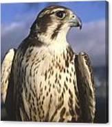 A Prairie Falcon At Dusk Canvas Print