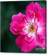 A Pretty Pink Rose Canvas Print